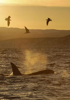 latest highlights/highlights 2011/killer whale orca orcinus orca surfacing seabirds