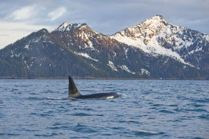 home wild/killer whale orca orcinus orca large bull