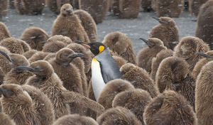 latest highlights/highlights 2011/king penguin aptenodytes patagonicus adult surrounded