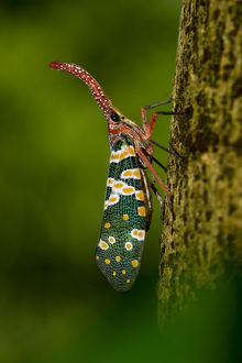 wild wonders china/lantern bug pyrops laternaria candelaria ha