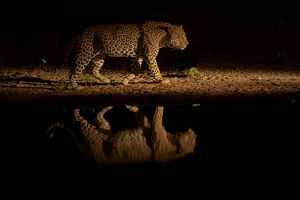 sergey gorshkov/leopard panthera pardus walking waterhole reflected