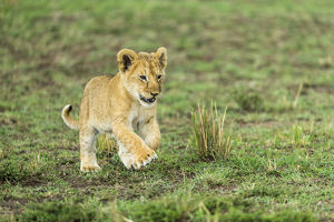happy/lion panthera leo cub playing masai mara game