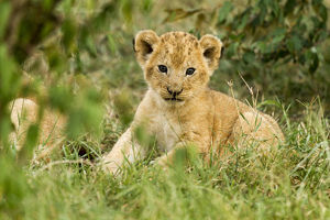 baby animals/lion panthera leo cub portrait masai mara game