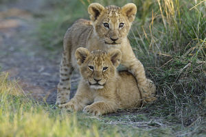baby animals/lion panthera leo cubs playing masai mara game