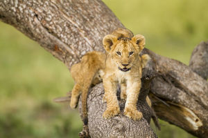 happy/lion panthera leo cubs playing dead tree masai