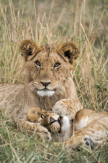 happy/lion panthera leo cubs resting masai mara game