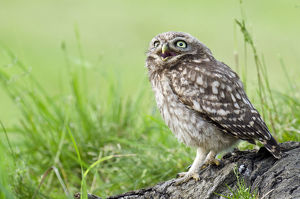 happy/little owl athene noctua chick calling food