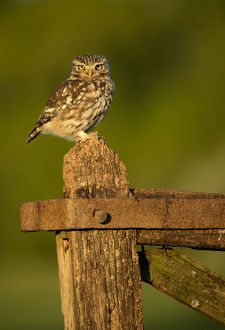 danny green/little owl athene noctua perched gate late evening