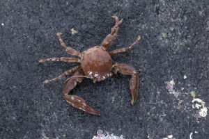 marine life channel islands sue daly/long clawed porcelain crab pisidia longicornis