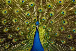 latest highlights/highlights 2013/male peacock pavo cristatus displaying ocellated