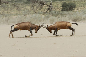 latest highlights/highlights 2009/male red hartebeest alcelaphus buselaphus fighting