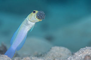 alex mustard/male yellow headed jawfish opistognathus aurifrons