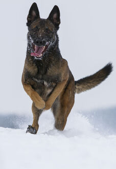 latest highlights/highlights 2013/malinois belgian shepherd police dog mia owned