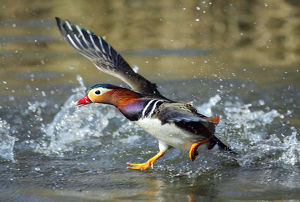 july 2019 highlights/mandarin duck drake aix galericulata runnng