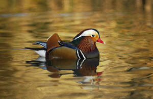 july 2019 highlights/mandarin duck drake aix galericulatafloating