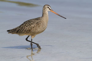 north american birds/marbled godwit limosa fedoa hunting low tide
