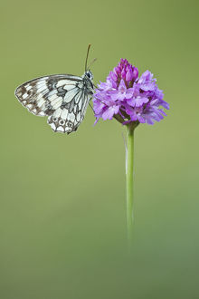 2020vision/1/marbled white butterfly melanagria galathea