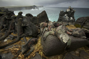 latest highlights/highlights 2011/marine iguanas amblyrhynchus cristatus south