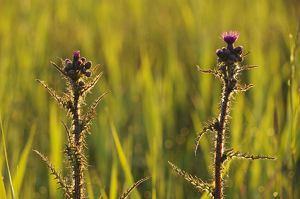 2020vision/1/marsh thistle cirsium palustre flowering managed