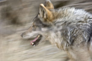 latest highlights/highlights 2009/mexican wolf canis lupus baileyi running captive