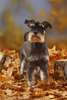 latest highlights/highlights 2011/miniature schnauzer black silver coated standing