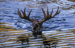 north american wildlife/moose alces alces bull swimming water baxter