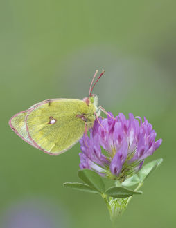 robert thompson/mountain clouded butterfly colias phicomone