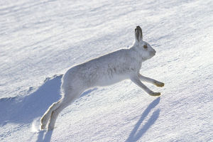 christmas/mountain hare lepus timidus running snow covered