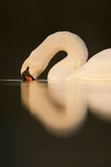 latest highlights/highlights 2011/mute swan cygnus olor beak water fife scotland
