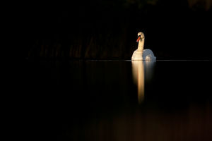tranquility/mute swan cygnus olor late evening light fife