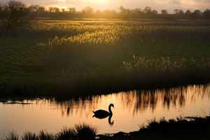 tranquility/mute swan cygnus olor river ant sunset hill