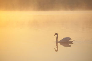 tranquility/mute swan cygnus olor river spey dawn cairngorms