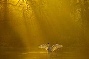 magic moment/mute swan cygnus olor stretching wings backlit dawn
