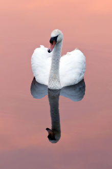 tranquility/mute swan cygnus olor water reflection shapwick