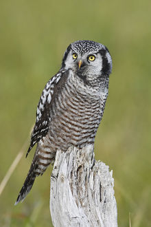 north american birds/northern hawk owl surnia ulula perched nome