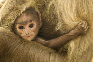 baby animals/northern plains grey langur semnopithecus entellus