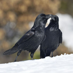 october 2019 highlights/northern ravens corvus corax interacting snow