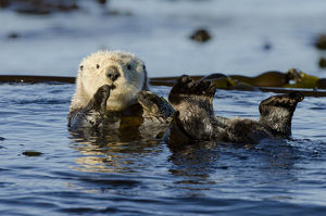 north american wildlife/northern sea otter enhydra lutris kenyoni floating