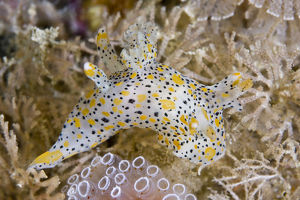 marine life channel islands sue daly/nudibranch thecacera pennigera moving past sea