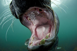 magic moment/old male grey seal halichoerus grypus mouth