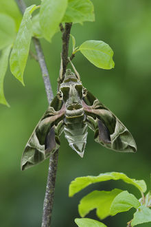 robert thompson/oleander hawkmoth daphnis nerii resting southern