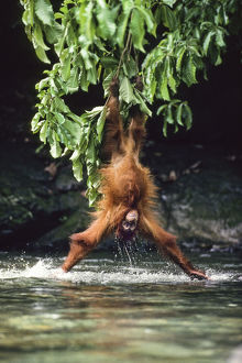 happy/orang utan pongo pygmaeus lowering branch head first