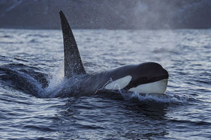 staffan widstrand/orca killer whale orcinus orca surfacing senja