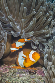 october 2019 highlights/pair western clown anemonefish amphiprion ocellaris