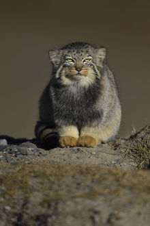 wild wonders china/pallass cat otocolobus manul resting tibetan