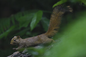 wild wonders china/pallass squirrel callosciurus erythraeus tongbiguan