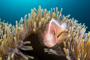 alex mustard/pink anemonefish amphiprion perideraion looks