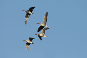 2020vision/1/pink footed geese anser brachyrynchus flight