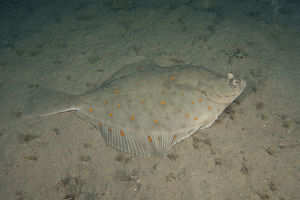 marine life channel islands sue daly/plaice pleuronectes platessa bouley bay jersey