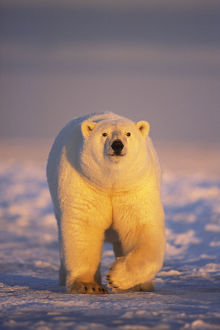 latest highlights/highlights 2013/polar bear ursus maritimus adult walking newly